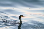 European Shag/Phalacrocorax aristotelis - Photographer: Светослав Спасов