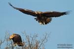 Царски орел/Aquila heliaca, Семейство Ястребови