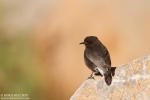 Family Thrushes, Black Wheatear/Oenanthe leucura