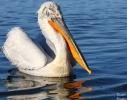 Dalmatian Pelican/Pelecanus crispus - Photographer: Dimitar Dimitrov