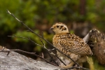 Willow Grouse/Lagopus lagopus - Photographer: Борис Белчев