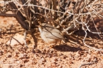 Scrub Warbler/Scotocerca inquieta, Family Cisticolas
