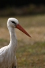White Stork/Ciconia ciconia - Photographer: Dimitar Dimitrov