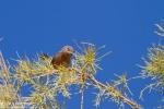 Dartford Warbler/Sylvia undata, Family Flycatchers
