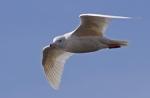 Glaucous Gull/Larus hyperboreus, Family Gulls, Terns