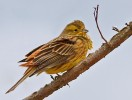 Yellowhammer/Emberiza citrinella - Photographer: Иван Иванов