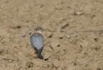 Малък сокол/Falco columbarius - Фотограф: Младен Василев