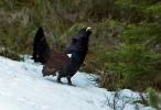 Western Capercaillie/Tetrao urogallus - Photographer: Иван Иванов