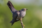 Family Cuckoos, Common Cuckoo/Cuculus canorus
