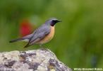 White-throated Robin/Irania gutturalis, Family Thrushes