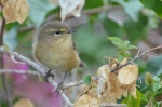 Family Warblers , Canary Islands Chiffchaff/Phylloscopus canariensis