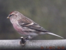 Family Finches, Common Redpoll/Carduelis flammea