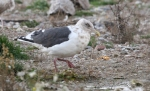 Slaty-backed Gull/Larus schistisagus, Family Gulls, Terns