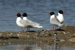 Family Gulls, Terns, Mediterranean Gull/Larus melanocephalus - Photographer: Иво Дамянов