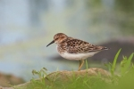 Least Sandpiper/Calidris minutilla - Photographer: Даниел Митев