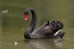 Family Waterfowl, Black Swan/Cygnus atratus