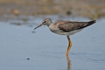 Lesser Yellowlegs/Tringa flavipes, Family Sandpipers