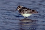 Broad-billed Sandpiper/Limicola falcinellus - Photographer: Любомир Андреев - Лу_пи