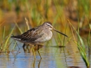 Long-billed Dowitcher/Limnodromus scolopaceus, Family Sandpipers