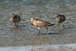 Family Sandpipers, Bar-tailed Godwit/Limosa lapponica - Photographer: Тео Тодоров