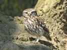 Little Owl/Athene noctua - Photographer: Dean Eades