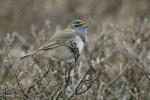 Bluethroat/Luscinia svecica - Photographer: Димитър Георгиев