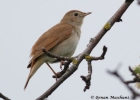 Common Nightingale/Luscinia megarhynchos - Photographer: Qenan Maxhuni