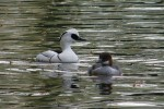 Family Waterfowl, Smew/Mergellus albellus