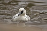 Smew/Mergellus albellus, Family Waterfowl