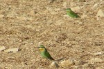 Family Bee-eaters, Blue-cheeked Bee-eater/Merops persicus
