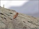Mongolian Finch/Bucanetes mongolicus, Family Finches