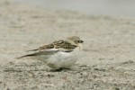 Family Sparrows, White-winged Snowfinch/Montifringilla nivalis