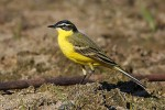 Yellow Wagtail/Motacilla flava - Photographer: Николай Стайков