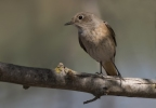 Spotted Flycatcher/Muscicapa striata - Photographer: Zeynel Cebeci