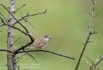 Family Warblers , Common Whitethroat/Sylvia communis