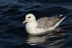 Northern Fulmar/Fulmarus glacialis - Photographer: Даниел Митев