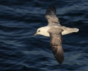 Northern Fulmar/Fulmarus glacialis, Family Shearwaters