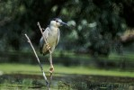 Black-crowned Night-heron/Nycticorax nycticorax - Photographer: Любомир Андреев - Лу_пи