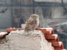Little Owl/Athene noctua - Photographer: Йордан Василев