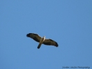 European Honey-buzzard/Pernis apivorus - Photographer: Йордан Василев