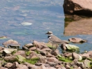 Family Plovers, Little Ringed Plover/Charadrius dubius - Photographer: Йордан Василев