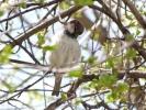 House Sparrow/Passer domesticus - Photographer: Йордан Василев