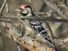 Family Woodpeckers, Lesser Spotted Woodpecker/Dendrocopos minor