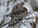 Chaffinch/Fringilla coelebs, Family Finches