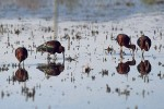 Glossy Ibis/Plegadis falcinellus - Photographer: Sergey Panayotov