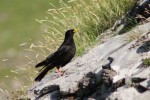 Yellow-billed Chough/Pyrrhocorax graculus, Family Crows