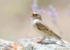 Pale Rock Sparrow/Petronia brachydactyla, Family Sparrows