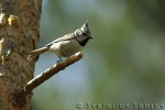 Family Tits, Crested Tit/Lophophanes cristatus