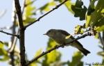 Eastern Bonelli's Warbler/Phylloscopus orientalis, Family Warblers