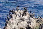 European Shag/Phalacrocorax aristotelis - Photographer: Любомир Андреев - Лу_пи